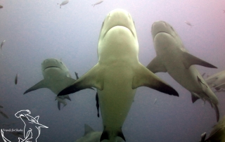 Beautiful Bull Sharks, Fiji
