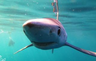 blue-shark-29-08-16-1-702x336